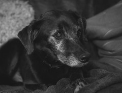 Mr Connor dog (Angela Grant photography (Not enough hours in the ) Tags: portrait blackandwhite dog pet monochrome animal nikon canine nikkor2870 d810