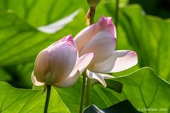 Fiori di loto | Lotus flowers. (Ciminus) Tags: flowers plants nature garden nikon wildlife fiori piante lotusflowers fioridiloto naturesubjects nikond810 afsnikkor80400vr ciminodelbufalo ciminus