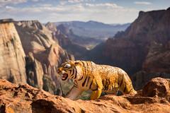 Tiger at Observation Peak (Tydence) Tags: park observation tiger peak canyon national zion