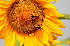 Summer Greetings (ivlys) Tags: germany allemagne deutschland hessen hessischesried erfelden bensheimerhof sonnenblume sunflower distelfalter paintedlady vanessacardui schmetterling butterfly insect blume flower nature ivlys