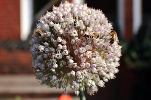 "Honígbiene (07) • <a style=""font-size:0.8em;"" href=""http://www.flickr.com/photos/69570948@N04/27879151744/"" target=""_blank"">View on Flickr</a>"