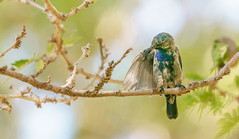 Sunbird relaxing (donalddewulf) Tags: sunbird bird nature wings yellow branch green tree