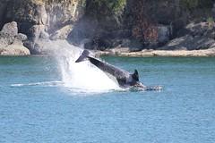 Suttles J40 cartwheel (SanJuanOrcas) Tags: wild orca killer whale cetacean sea ocean wildlife