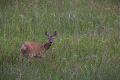 Reh in der Sommerwiese (eribe-foto) Tags: rehe saulgrub ammertal wildlife