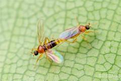 Dagger flies (Elaphropeza sp.) - DSC_4485 (nickybay) Tags: macro singapore macritchie macritchiereservoir golflink mating dagger fly elaphropeza
