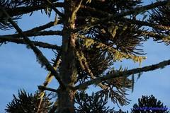 Araucria (Araucaria angustifolia) (Luiz Filipe Varella) Tags: trees rio brasil grande klein do arboles species araucaria filipe floresta mata sul luiz paisagens rvores angustifolia varella mista atlntica araucrias espcies ombrfila sulbrasileiras