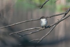 2016 Eastern Phoebe 6 (DrLensCap) Tags: park chicago bird robert nature illinois village north center il phoebe eastern kramer flycatcher