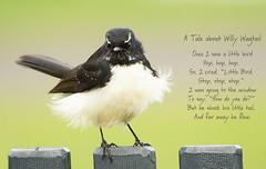 Willy Wagtail's Tale (judith511) Tags: odc homonyms tale tail willywagtail fantail aboriginalfolklore nurseryrhyme