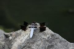 Dragonfly 5 (RZaichkowski) Tags: highpark toronto july 2016 canonrebelt5 nature dragonfly