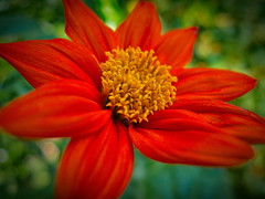 Mexican Sunflower (larryvanhowe) Tags: plants flower macro home sussex europe unitedkingdom places subject lewes tithonia