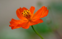 en robe de bal (christophe.laigle) Tags: rouge fleur macro robe flower fuji xpro2 60mm red ngc npc