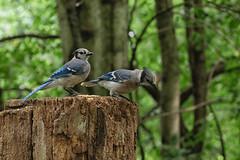 Blue jays (KWaterhouse) Tags: jays bluejays seeds pairs summer lyndeshores whitby durhamregion ontario canada nikond5300