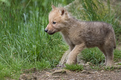 2016-06-14-1384 (bzd1) Tags: animals dogs hudsonbaywolf roofdieren poolwolf animal mammal arcticwolf carnivore canidae canis canuslupus nature