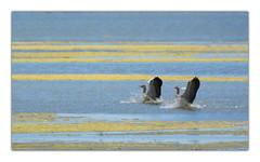 smooth landing (stefan.bauer) Tags: smooth landing smoothlanding llmitz neusiedlersee sterreich ducks duck water lake salt blue