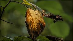 Ein Blatt macht noch keinen Herbst (ludwigrudolf232) Tags: blatt herbst