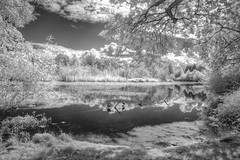 Summer Dream (zenseas : )) Tags: seattle park summer blackandwhite bw lake reflections reeds ir bay duck washington dream ducks surreal sunny explore reflected lakewashington infrared marsh seattlearboretum digitalinfrared explored
