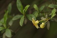 Rhododendron lepidotum Wallich ex G. Don (3) (siddarth.machado) Tags: east rhododendron lachen northsikkim himalayanflora