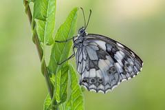 The Marbled White (Prajzner) Tags: marbledwhite melanargiagalathea sigma105mmmacro sigma subcarpathia nikon nature nikond7100 naturallight macro manfrotto manfrottomt190xpro3 poland prajzner butterfly lepidoptera