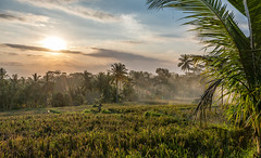 Working in the rice paddies (Peter Witberg) Tags: stockcategories ricefields timeofday nikon sunset serene abstract landscapes photospecific light imagetype d7100 sky clouds countries landscape orientation yellow ubud bali