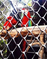 #parrot #parrots #red #rainbow #birds #cute #malang #ecogreeenpark #indonesia #indonesian #animal #animals #nature #photography #samsung #samsungphotography #ecogreenparkbatu #ecogreenparkbatumalang #batu (veneishiag@rocketmail.com) Tags: birds malang batu e rainbow samsungphotography photography parrots indonesia animals animal ecogreenparkbatumalang nature red samsung parrot cute indonesian ecogreenparkbatu
