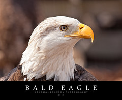 Bald Eagle (Thomas  Johnson Photography) Tags: missouri outside outdoors canon digital 40d closeup bald eagle baldeagle bird thomasjohnsonphotography thomasjohnsonphotography yellow brown looking eyes close 2016