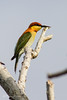 IMG_8594 Chestnut Headed Bee Eater (timrusson) Tags: thailand chestnutheadedbeeeater