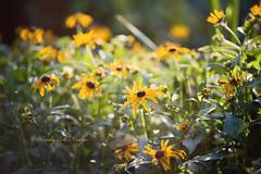 blossoms (wmhodge) Tags: yellow flower flowers sun sunlight spotlight outdoors outside wendyhodge green bloom blooms daisy nature naturesart naturesbeauty