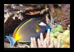 ALAIN1japonicus6593 (kactusficus) Tags: marine reef aquarium alain captive ecosystem rcifal acanthuridae chirurgien surgeonfish tang acanthurus japonicus