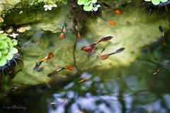 CA BAY MAU (Huynh Ba Tung) Tags: fish water tree green colors red light nature lotus glass