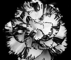 Carnation (Harry McGregor) Tags: blackandwhiteflowers macro mondays macromondays carnation flowershow ayrflowershow 2016 6 august nikon d3300 southayrshire scotland rozellepark blackandwhite monochrome blackbackground