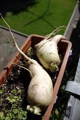 Raphanus (dididumm) Tags: harvest summer radish white raphanussativus weiss rettich sommer ernte