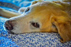 Cody - My Yellow Lab at 13 years old (mbell1975) Tags: cody my yellow lab 13 years old dog labrador retreiver retriever pet home