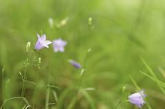 Campanule (pixel_focus) Tags: nature fleur flower campanule color bokeh wild macro
