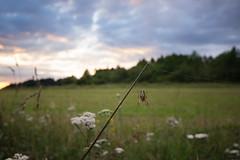 Wide-angle spidey macro (kondex vs mechagodzilla) Tags: macro spider wide angle sunset clouds meadow field bug closeup dof bokehpoland polska lubelskie lubelszczyzna roztocze