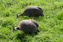 Helmeted Guineafowl (wells117) Tags: 2016 700d manorwildlifepark august august2016 bird canon clivewells guineafowl helmetedguineafowl numidamelagris park pembrookshire wales wildlife