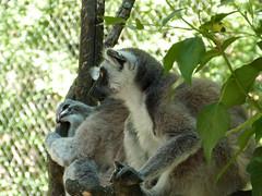 Réserve zoologique de Calviac, 11 août 2016. (Guillaume Cingal) Tags: calviac calviac11082016 1011août2016