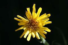 Complessit (lincerosso) Tags: fiori flowers complessit architetturafloreale composite coloregiallo bellezza armonia estatealpina