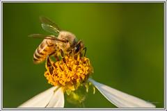 Abeja - Bee (J. Amorin) Tags: abejasavispasmoscasytabanos bee abeja amorin macuspana canon10028macro canon7d