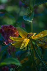 Morning Light (d.cobb56) Tags: morninglight bokeh garden outdoors nature yellow earlyautumnseptembernew england massachusetts