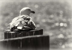 (Sittin' On) The Dock Of The Bay - Explore 8/24/2016 (leapinlily) Tags: monochrome blackandwhite seagull bokeh