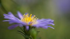 Aster dumosus (Stefan Zwi.) Tags: aster dumosus flower blume dof sonya7 ilce7 sigma105mmmacro makro macro sigma bokeh green grn blau blue light detail