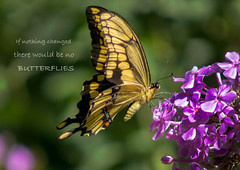 A bright moment in my day.... (bonnie5378) Tags: aug2016 swallowtail butterfly phlox cloth naturescarousel ngc