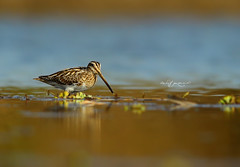 Common Snipe (Wasif Yaqeen) Tags: commonsnipe snipe gallinagogallinago nature wildlife birds birdsofpakistan pakistanwildlife wildlifeofpakistan animals pakistannature wasifyaqeen wasif animalplanet nationalgeographic outdoor birdsinnaturalhabitat birdshabitat pakistan wasifyaqeenphotography