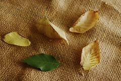 Leaf (Alias_239) Tags: green yellow leaf iran ایران سبز چهار qom طبیعت یک قم برگ خشک بیجان