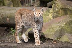 2015-04-03-13h24m14.BL7R8962 (A.J. Haverkamp) Tags: germany zoo duisburg lynx dierentuin euraziatischelynx canonef100400mmf4556lisusmlens httpwwwzooduisburgde lynxlynxcarpathicus euroasianlynx