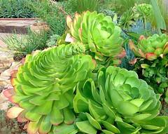 Aeonium Canariense (ethanbay) Tags: succulent aeonium aeoniumcanariense
