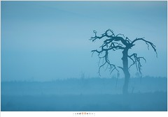 Strabrechtse Heide (nandOOnline) Tags: morning mist tree nature fog landscape nevel nederland natuur boom morgen heide ochtend landschap lierop strabrechtseheide nbrabant ochtendnevel timburtonboom