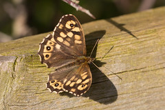 Speckled wood f (Steve Balcombe) Tags: brown female fence butterfly evening cream somerset taunton speckledwood pararge aegeria bathpool