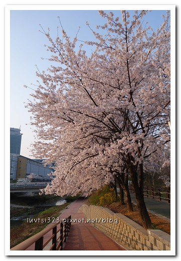 양재천벚꽃06