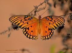 Gulf Fritillary (Agraulis vanillae) (ACEZandEIGHTZ) Tags: butterfly orangebutterfly gulffritillary agraulisvanillae bokeh passionbutterfly lepidoptera nymphalidae heliconiinae macrophotography naturessoul butterflieselegance butterfliesdragonfliesoftheworld lefarallefiorivolanti worldofbutterflyphotos frameit naturebeauties infinitexposure naturessoul~supreme~ naturessoulelite naturesprime nature nikon d3200 rainbowofnature photographyforrecreation esenciadelanaturaleza tinyworlds collectyourjewels dslrautofocus post1